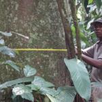 To determine the amount of carbon absorbed by a tree, its diameter and height are measured regularly (Salongo National Park, DR Congo) (@ Simon Lewis - University of Leeds)